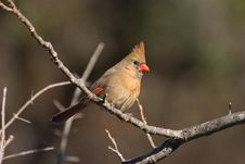 Free Female Northern Cardinal Stock Photos - 3135583