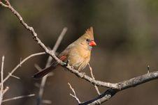 Free Female Northern Cardinal Stock Photos - 3135583
