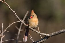 Free Female Northern Cardinal Royalty Free Stock Photo - 3135605