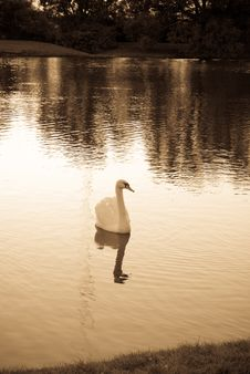 Free Simply Swan Stock Images - 3135834