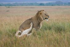 Free Lion Couple On Honeymoon Royalty Free Stock Images - 3137539