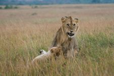 Free Male And Female African Lion Stock Photo - 3137540