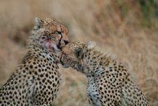 Free Cheetahs Stock Image - 3137561
