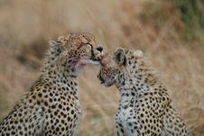 Free Cheetahs Stock Image - 3137571