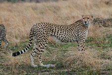 Free Cheetah Royalty Free Stock Photos - 3137578