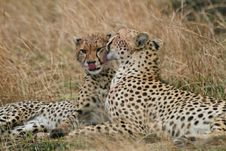 Free Cheetah Mother And Cub Stock Images - 3137584