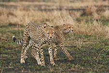 Free Cheetahs Royalty Free Stock Photos - 3137598