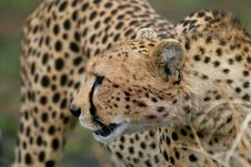 Free Cheetah Portrait Stock Photography - 3137602