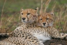 Free Cheetah Mother And Cub Royalty Free Stock Images - 3137619