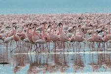 Free Lesser Flamingos Stock Photography - 3137622