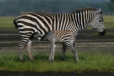 Free Zebra Foal Nursing Royalty Free Stock Photography - 3137637