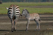 Free Zebra Foal Stock Photo - 3137640
