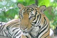 Free Tiger Stock Images - 3137904