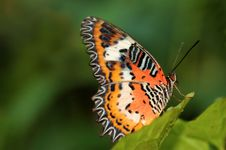 Free Malay Lacewing Royalty Free Stock Image - 3138536