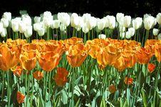 Free Tulips Royalty Free Stock Photos - 3139168