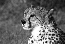 Free Cheetah Staring Stock Image - 3139371