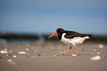 Free Oystercatcher Stock Images - 31302004