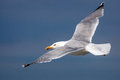Free Seagull Royalty Free Stock Image - 31302056