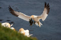 Free Northern Gannet Stock Photography - 31302082