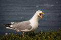 Free Seagull Royalty Free Stock Photography - 31302247