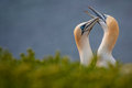 Free Northern Gannet Royalty Free Stock Image - 31302396