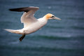 Free Northern Gannet Royalty Free Stock Images - 31302489