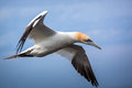 Free Northern Gannet Stock Photo - 31302570