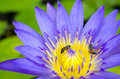 Free Lotus Flower With Bee Stock Images - 31303284