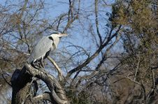 Free Grey Heron Royalty Free Stock Photography - 31301027