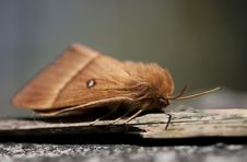 Free Oak Eggar Royalty Free Stock Photo - 31301145