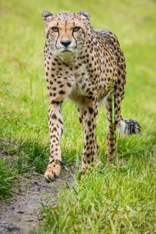 Free Cheetah Stock Image - 31301931