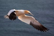 Free Northern Gannet Stock Image - 31302201