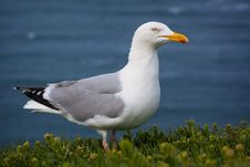 Free Seagull Stock Photos - 31302333