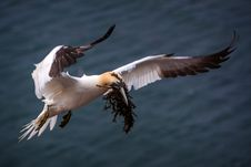 Free Northern Gannet Stock Image - 31302521
