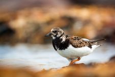 Free Ruddy Turnstone Stock Image - 31302711