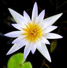 Free White Lotus Flower Stock Photo - 31303060