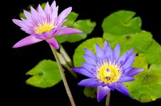 Free Lotus Flower With Bee Stock Images - 31303124