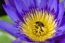 Free Lotus Flower With Bee Royalty Free Stock Images - 31303179