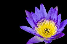 Free Lotus Flower With Bee Royalty Free Stock Photo - 31303215