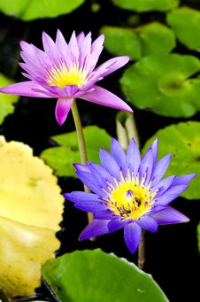 Free Lotus Flower With Bee Royalty Free Stock Photography - 31303657