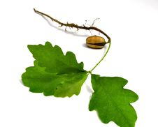 Free Germ Of A Young Oak Stock Images - 31304064