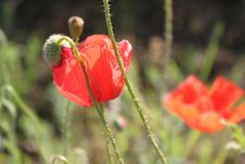 Free Poppy Royalty Free Stock Image - 31305666