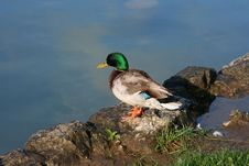 Free Wild Duck Royalty Free Stock Photography - 31305877