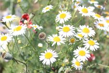 Free Poppy Bulb And Chamomile Flowers Stock Photography - 31306002