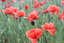 Free Field Of Poppies Royalty Free Stock Photography - 31306077