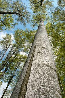 Free Treetops Royalty Free Stock Photo - 31309115