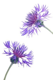 Free Cornflower Stock Image - 31309161