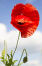 Free Poppy Over Sky Stock Photography - 31310362