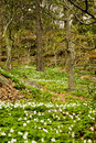 Free Birch Trees White Wood Anemone, Sweden Royalty Free Stock Image - 31317666