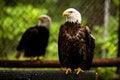 Free Bald Head Eagle Royalty Free Stock Photography - 31319047